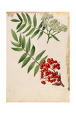Two Sprigs of American Mountain Ash with Berries and Blossoms Giclee Print by Mary E. Eaton