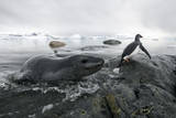 Leopard Seal (Hydrurga Leptonyx) Hunting Gentoo Penguin (Pygoscelis Papua) into Shore, Antarctica Photographic Print by Ben Cranke