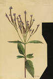 This Plant Is a Member of the Verbena Family Giclee Print by Mary E. Eaton