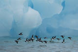 Little Auks (Alle Alle) Flying Low Above Surface in Front of Iceberg Papier Photo par Danny Green
