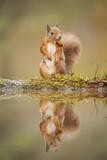 Red Squirrel (Sciurus Vulgaris) at Woodland Pool, Feeding on Nut, Scotland, UK Fotografisk tryk af Mark Hamblin
