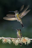 Green Crowned Brilliant Hummingbird (Heliodoxa Jacula) Taking Off to Feed in Garden, Costa Rica Photographic Print by Bence Mate