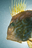 John Dory (Zeus Faber) Portrait, Babbacombe Bay, Devon, UK Photographic Print by Alex Mustard