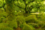 Stunted Oak Woodland Covered in Moss, Wistman's Wood, Devon, UK Photographic Print by Ben Hall