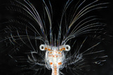 Deepsea Marine Larva of Decapod Crustacean {Sergestes Sp} Atlantic Ocean Photographic Print by Solvin Zankl