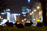 European Rabbits (Oryctolagus Cuniculus) at Night Near L'Arc De Triomphe, Paris, France Photographic Print by Laurent Geslin