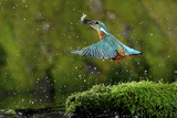 Common Kingfisher {Alcedo Atthis} Coming Up Out of Water with Fish, Lorraine, France Photographic Print by Poinsignon and Hackel
