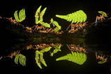 Leaf Cutter Ants (Atta Sp) Female Worker Ants Carry Pieces of Fern Leaves to Nest, Costa Rica Photographic Print by Bence Mate