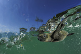Baby Olive Ridley Sea Turtle (Lepidochelys Olivacea) Swims from Where it Hatched, Costa Rica Photographic Print by Solvin Zankl