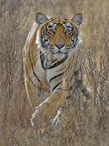 Bengal Tiger (Panthera Tigris Tigris) Stalking Deer, Ranthambore Np, Rajasthan, India Photographic Print by Andy Rouse