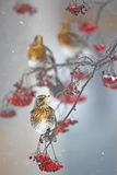 Fieldfare (Turdus Pilaris) on Fruit Tree in Snow Helsinki, Finland Papier Photo par Markus Varesvuo