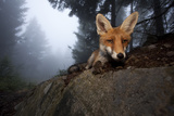 Red Fox (Vulpes Vulpes) Vixen on a Misty Day in Woodland, Black Forest, Germany Photographic Print by Klaus Echle
