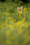Red Fox (Vulpes Vulpes) in Meadow of Buttercups. Derbyshire, UK Photographic Print by Andy Parkinson
