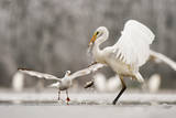 Great Egret (Ardea Alba) Drops a Fish and a Black Headed Gull (Larus Ridibundus) Flies to Catch It Photographic Print by Bence Mate