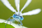Common Blue Damselfly (Enallagma Cyathigerum), Close Up Portrait Photographic Print by Ross Hoddinott