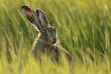 European Hare (Lepus Europaeus) in Grass Field, UK Photographic Print by Andy Rouse