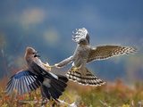 Sparrowhawk (Accipiter Nisus) Attacking Jay (Garrulus Glandarius) Telemark, Norway Photographic Print by Pal Hermansen