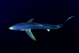 Great Blue Shark (Prionace Glauca), Dorsal View Against Dark Water Photographic Print by Nuno Sa