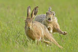 European Hares (Lepus Europaeus) Courtship Chase, UK Photographic Print by Andy Rouse