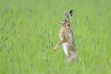 European Hare (Lepus Europaeus) Male Standing on Hind Legs Watching Female, UK Photographic Print by Andy Rouse