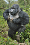Mountain Gorilla (Gorilla Beringei) Silverback Beating Chest and Charging Forward, Rwanda Photographic Print by Andy Rouse