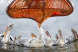 Dalmatian Pelican (Pelecanus Crispus) Low Angle Perspective of Open Bill, Lake Kerkini, Greece Photographic Print by Bence Mate
