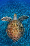 Green Turtle, (Chelonia Mydas), Swimming over Volcanic Sandy Bottom, Armenime Cove, Canary Islands Photographic Print by Jordi Chias