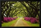 Wunderschöner Weg, von Bäumen und violetten Azaleen eingefasst Poster