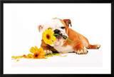 Good Morning Bulldog wtih Flower Art Print Poster Prints