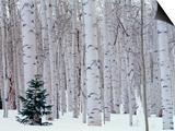 Aspen and Douglas Fir, Manti-Lasal National Forest, La Sal Mountains, Utah, USA Posters af Scott T. Smith