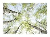Birch trees in spring Prints by Daniel Schoenen