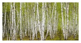 White Birch Grove with Spring Foliage, Canada Prints by Don Johnston
