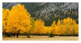 Autumn Aspens in Meadow Posters by Don Johnston