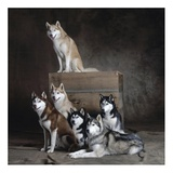 Siberian Huskies (detail) Prints by Yann Arthus-Bertrand