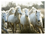 Herd of Camargue Horses Running (detail) Posters by Scott Stulberg