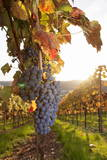 Vineyards with Red Wine Grapes in Autumn at Sunset, Esslingen, Baden Wurttemberg, Germany, Europe Reproduction photographique par Markus Lange
