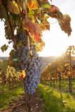 Vineyards with Red Wine Grapes in Autumn at Sunset, Esslingen, Baden Wurttemberg, Germany, Europe Fotodruck von Markus Lange