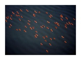 Red Ibises Over Amacuro Delta, Venezuela Posters by Yann Arthus-Bertrand