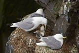 Black-Legged Kittiwake (Rissa Tridactyla) Adult Feeding a Chick on the Nest, Iceland, Polar Regions Photographic Print by James Hager