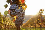 Vineyards with Red Wine Grapes in Autumn at Sunset, Esslingen, Baden Wurttemberg, Germany, Europe Lámina fotográfica por Markus Lange