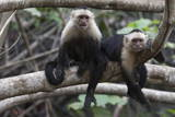 White-Faced Capuchin Monkey (Cebus Capucinus), Curu Wildlife Reserve, Costa Rica, Central America Photographic Print by Sergio Pitamitz