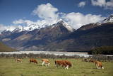 Hereford Cattle in Dart River Valley Near Glenorchy, Queenstown, South Island, New Zealand, Pacific Photographic Print by Nick Servian