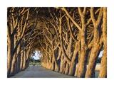 Pine Trees Lining Vineyard Driveway (detail) Print by Emilio Suetone
