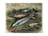 Salmon Prints by F. Padro
