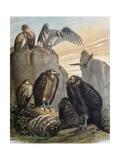 Vautours et condors Poster par F. Padro
