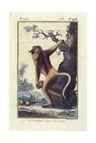 Guenon Monkey Prints by Buffon Georges-Louis Leclerc