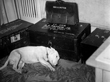 General Georg Patton's Pet Bull Terrier 'Willie' Photo