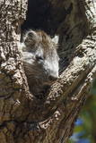 Tree Rat (Desmarest's Hutia), Cuba, West Indies, Caribbean, Central America Photographic Print by  Rolf