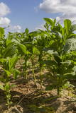 Tobacco Field, Pinar Del Rio, Cuba, West Indies, Caribbean, Central America Photographic Print by  Rolf