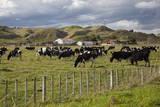 Friesian Dairy Cows, Turakina Valley Near Whanganui, New Zealand, Pacific Photographic Print by  Nick